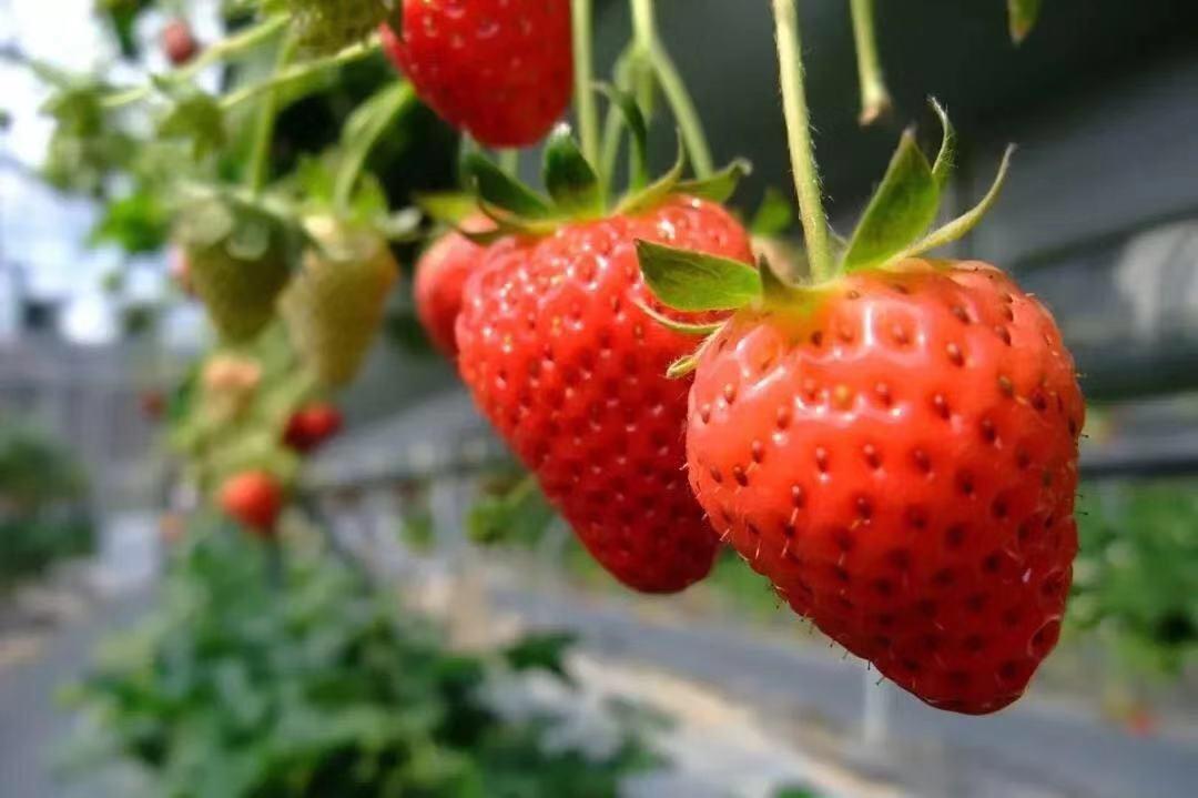 红杜鹃硬核草莓,你如何能不动心!