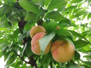 生态红杜鹃霞脆桃